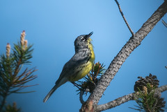 Lifer Kirtland's Warbler (FluvannaCountyBirder754) Tags: kirtlandswarbler grayling huronnationalforest warbler birdwatching bird birding birder birds wildlife nature outdoor outdoors outside animal creature michigan crawfordcounty
