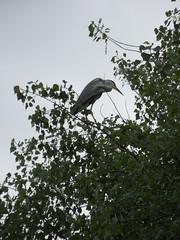 Stare guard (Nekoglyph) Tags: lockepark redcar cleveland teesside nature wildlife bird greyheron trees green leaves heronry