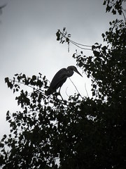 S bend (Nekoglyph) Tags: lockepark redcar cleveland teesside nature wildlife bird greyheron trees green leaves silhouette heronry