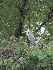 House sitter (Nekoglyph) Tags: lockepark redcar cleveland teesside nature wildlife bird greyheron trees green leaves nest heronry yellow