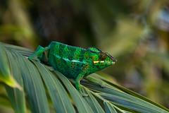 Frucifer pardalis Male  (caméléon panthère) (Nathan Quentin) Tags: chameleon caméléon frucifer aprdalis ile de al réunion reunion island reptile tropical lizard nature
