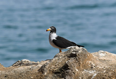 Belcher's Gull (Larus belcheri) (Kremlken) Tags: larusbelcheri humboldtcurrent coast gulls seabirds pacificocean chilean birds birding birdwatching nikon500