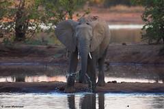 Just an elephant (leendert3) Tags: leonmolenaar southafrica krugernationalpark wildlife wildanimal wilderness nature naturereserve naturalhabitat mammal africanelephant naturethroughthelens