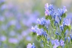 pink & blue (snowshoe hare*) Tags: dsc0709 flower flowers echium echiumvulgare kyotobotanicalgardens エキウム・ブルガレ 京都府立植物園