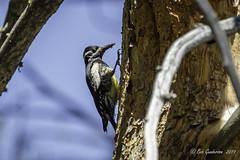 Wiilianson's Sapsucker (m) (Bob Gunderson) Tags: birds california donnercamp northerncalifornia sierras sphyrapicusthyroideus williansonssapsucker woodpeckers