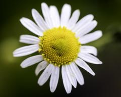 wildflower 2 (hz536n/George Thomas) Tags: 2019 canon copyright michigan prescott cs6 nik flora flower bokeh ef100mmf28lmacroisusm eos5dmarkiv