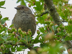 Dunnock (Male) (Pendlelives) Tags: nature wildlife countryside bird birds ornithology pendle pendlelives nikon p1000 clairty vibrant vibrance colne nelson background animals colours colour color feathers uk british species dunnock male
