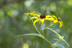 Brown Eyed Susan (LDesjardin) Tags: tennessee statepark henryhorton flowers nature forest woods canon sl2 18135mm closeup
