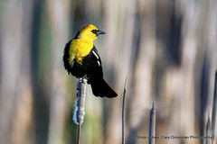 Yellow-headed Blackbird (Gary Grossman) Tags: blackbird yellow head bird reeds marsh wetland wildlife ridgefield northwest spring june washington garygrossman garygrossmanphotography wildlifephotography pacificnorthwest yellowheadedblackbird ridgefieldnationalwildliferefuge