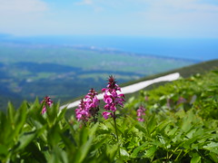 flower, snow and sea (murozo) Tags: shonai plain sea flower alpine plant green snow sky mountain mtchokai yuza yamagata japan ヨツバシオガマ 花 高山植物 海 山 雪 空 緑 八丁坂 鳥海山 遊佐 山形 日本 夏 summer