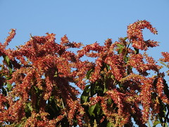 Flor do pajeú (Alexandre Marino) Tags: pajeú pauformiga árvores trees flowers flores