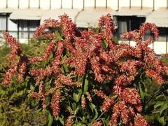 Flor do pajeú (Alexandre Marino) Tags: pajeú pauformiga árvores flores flowers trees triplaris