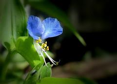 Asiatic Dayflower 696 (jmunt) Tags: wildflower weed dayflower flower commelinacommunis