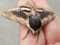 Sphinx ligustri Linnaeus, 1758 - Privet Hawk-moth (Peter M Greenwood) Tags: sphinxligustri privethawkmoth sphinx ligustri privet hawkmoth