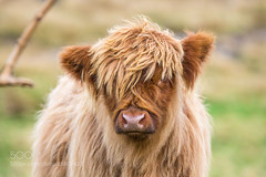 Bad Hair Day (Dr. Ernst Strasser) Tags: ifttt 500px calf coo highlands outside scotland scottish ernst strasser unternehmen startups entrepreneurs unternehmertum strategie investment shareholding mergers acquisitions transaktionen fusionen unternehmenskäufe fremdfinanzierte übernahmen outsourcing unternehmenskooperationen unternehmensberater corporate finance strategic management betriebsübergabe betriebsnachfolge