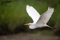 Great Egret 7_8 (krisinct- Thanks for 15 Million views!) Tags: nikon d850 500 f4 vrg