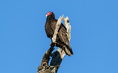 Turkey vulture ((nature_photonutt) Sue) Tags: turkeyvulture ironbridgeontariocanada