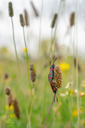 Evening Couple | Six-spot Burnet Moths