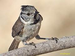 Herrerillo Capuchino (Lophophanes cristatus)  (19) (eb3alfmiguel) Tags: aves pájaros insectívoros passeriformes paridae herrerillo capuchino lophophanes cristatus