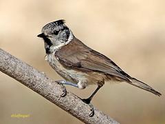 Herrerillo Capuchino (Lophophanes cristatus)  (18) (eb3alfmiguel) Tags: aves pájaros insectívoros passeriformes paridae herrerillo capuchino lophophanes cristatus