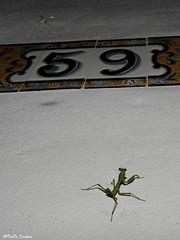Mosquito and nymph praying mantis (Geminiature Nature+Landscape Photography Mallorca) Tags: mantis prayingmantis bidsprinkaan mantodea mallorca nymph nimf ninfa green verde groen mug mosquito baby tiny little small kleine pequeño