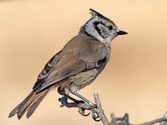 Herrerillo Capuchino (Lophophanes cristatus)  (14) (eb3alfmiguel) Tags: aves pájaros insectívoros passeriformes paridae herrerillo capuchino lophophanes cristatus