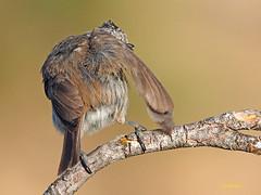 Herrerillo Capuchino (Lophophanes cristatus)  (3) (eb3alfmiguel) Tags: aves pájaros insectívoros passeriformes paridae herrerillo capuchino lophophanes cristatus