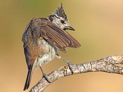 Herrerillo Capuchino (Lophophanes cristatus)  (1) (eb3alfmiguel) Tags: aves pájaros insectívoros passeriformes paridae herrerillo capuchino lophophanes cristatus