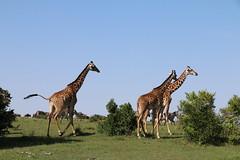 IMG_9237 (Vladimir Nardin) Tags: maasaimara kenya giraffe maasai