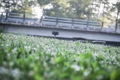 morning dew #1 (8-ballmabelleamie) Tags: wildflowers lowangle dew bridge frontagebokeh riverbank