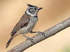 Herrerillo Capuchino (Lophophanes cristatus)  (16) (eb3alfmiguel) Tags: aves pájaros insectívoros passeriformes paridae herrerillo capuchino lophophanes cristatus