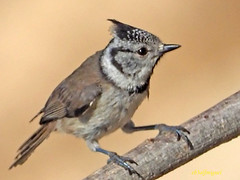 Herrerillo Capuchino (Lophophanes cristatus)  (15) (eb3alfmiguel) Tags: aves pájaros insectívoros passeriformes paridae herrerillo capuchino lophophanes cristatus