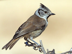 Herrerillo Capuchino (Lophophanes cristatus)  (13) (eb3alfmiguel) Tags: aves pájaros insectívoros passeriformes paridae herrerillo capuchino lophophanes cristatus