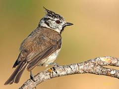 Herrerillo Capuchino (Lophophanes cristatus)  (11) (eb3alfmiguel) Tags: aves pájaros insectívoros passeriformes paridae herrerillo capuchino lophophanes cristatus