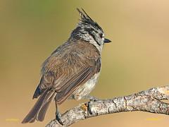 Herrerillo Capuchino (Lophophanes cristatus)  (9) (eb3alfmiguel) Tags: aves pájaros insectívoros passeriformes paridae herrerillo capuchino lophophanes cristatus