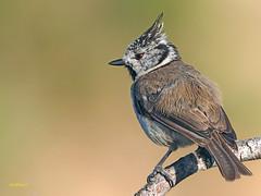 Herrerillo Capuchino (Lophophanes cristatus)  (8) (eb3alfmiguel) Tags: aves pájaros insectívoros passeriformes paridae herrerillo capuchino lophophanes cristatus