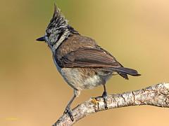 Herrerillo Capuchino (Lophophanes cristatus)  (2) (eb3alfmiguel) Tags: aves pájaros insectívoros passeriformes paridae herrerillo capuchino lophophanes cristatus