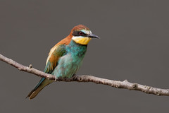European Bee-eater - Bienenfresser (rengawfalo) Tags: meropsapiaster bienenfresser beeeater bird birder birding wildlife outdoor vogel vögel singvögel singvogel natur nature tiere racke rackenvögel