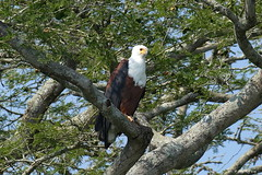 1.02763 Pygargue vocifer (adulte) / Haliaeetus vocifer / African Fish-eagle (Laval Roy) Tags: afrique africa uganda pygargue fisheagle rapaces pygarguevocifer haliaeetusvocifer accipitridés accipitriformes oiseaux birds aves africanfisheagle lavalroy
