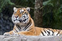 Sayan posing well (Tambako the Jaguar) Tags: tiger big wild cat amur siberian male lying resting posing portrait face rock stone trees zürich zoo switzerland nikon d5