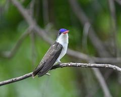 Violet-crowned Hummingbird (dan.weisz) Tags: violetcrownedhummingbird hummingbird bird patonshouse patoncenter patagonia