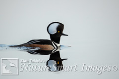 Hooded Merganser male Tekiela TEK1546 (Stan Tekiela's Nature Smart Wildlife Images) Tags: allrightsreserved authornaturalistwildlifephotographer avian birds feathers birding wildlife hoodedmerganserlophodytescucullatus minnesota unitedstatesofamerica usa naturesmartimagesbystantekiela stantekiela copyright allrightsreservered stockimage professionalphotographer images animals nature naturalist wild stockphotos digitalimages critter stockimages waterfowl ducks swan geese water anatidae dabbling diving aythya adult male whitewater