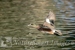 American Wigeon adult male in flight Tekiela TEK6621 (Stan Tekiela's Nature Smart Wildlife Images) Tags: allrightsreserved americanwigeonanasamericana authornaturalistwildlifephotographer avian birds feathers birding wildlife naturesmartimagesbystantekiela stantekiela copyright allrightsreservered stockimage professionalphotographer images animals nature naturalist wild stockphotos digitalimages critter stockimages waterfowl ducks swan geese water anatidae dabbling diving aythya adultmaleflight flying