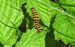 Caterpillar of cinnabar moth (Elisa1880) Tags: tyria jacobaeae cinnabar moth sintjacobsvlinder caterpillar rups insect solleveld den haag the hague dier animal nederland netherlands zebrarups