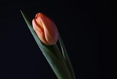 Orange Tulip (pasquale di marzo) Tags: flower fiore tulipano arancione colore macro