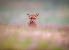 Soggy... (DTT67) Tags: kit babyfox foxkit redfoxkit fox maryland 500mmii 1dxmkii canon animal mammal nature wildlife