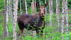 Moose (G3nie) Tags: wild tree nature animal forest finland wildlife moose elk ef70300mmf456isusm aspectratio169 canoneos1100d mammal deer alces