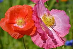 A lovely duo (joeke pieters) Tags: 1480511 panasonicdmcfz150 klaproos klaprozen poppy poppies bloemen flowers tuin garden rood roze red pink