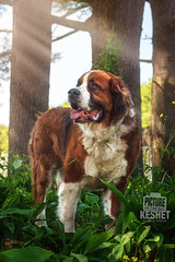 Picture of the Day (Keshet Kennels & Rescue) Tags: adoption dog ottawa ontario canada keshet large breed dogs animal animals pet pets field nature photography st saint bernard bernese mountain mix light rays trees pose garden plants