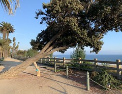 Lean In :  we all need support. With a bit of help from mankind, this tree continues to grow. (remiklitsch) Tags: santamonica iphone remiklitsch palisadespark panorama landscape tree green blue evening nature